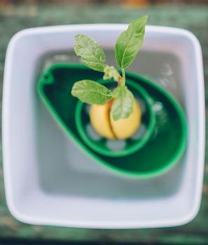 Pflanzset - Avocadokern einpflanzen - 4