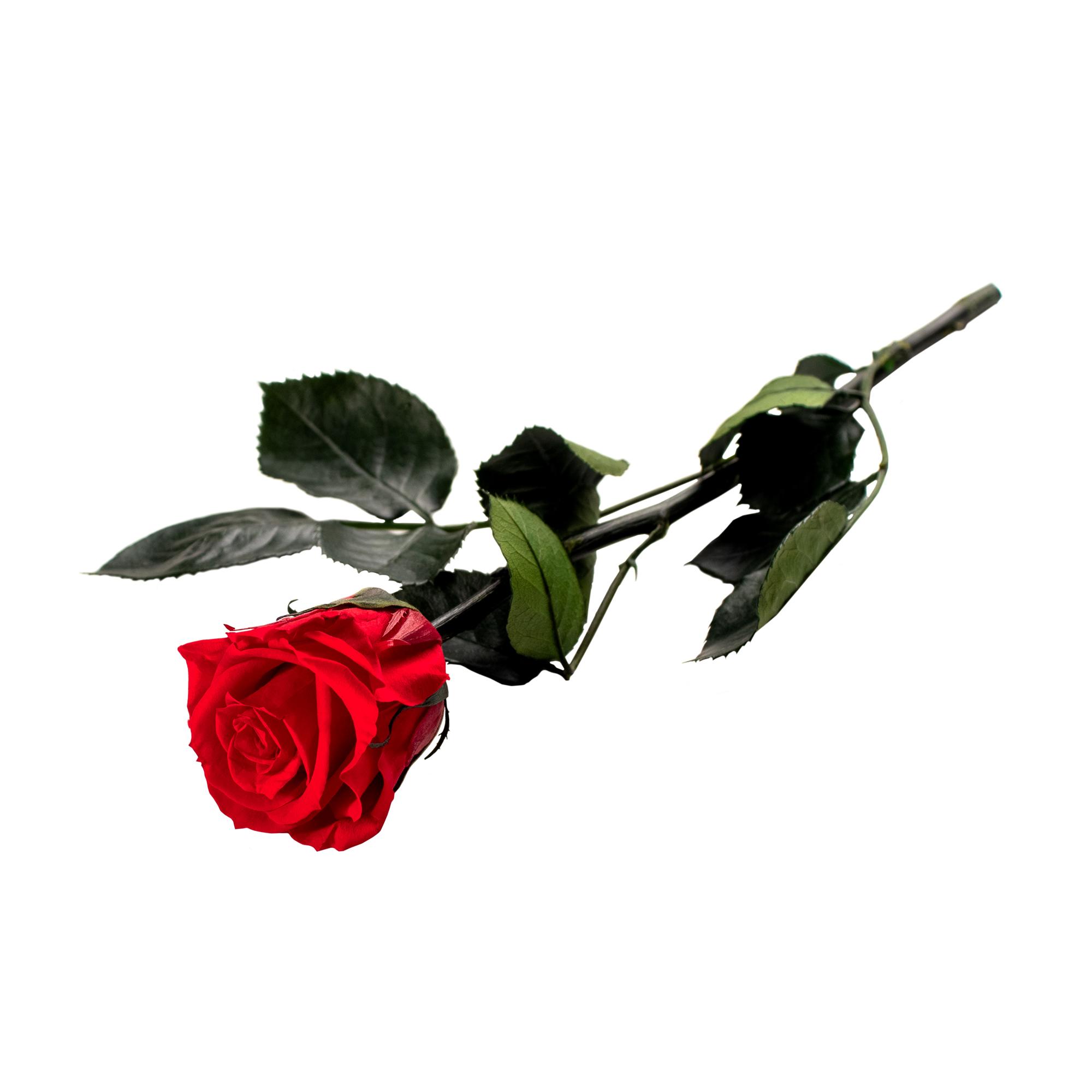 Unvergängliche Rose Das Besondere Geschenk Das Jahrelang Hält