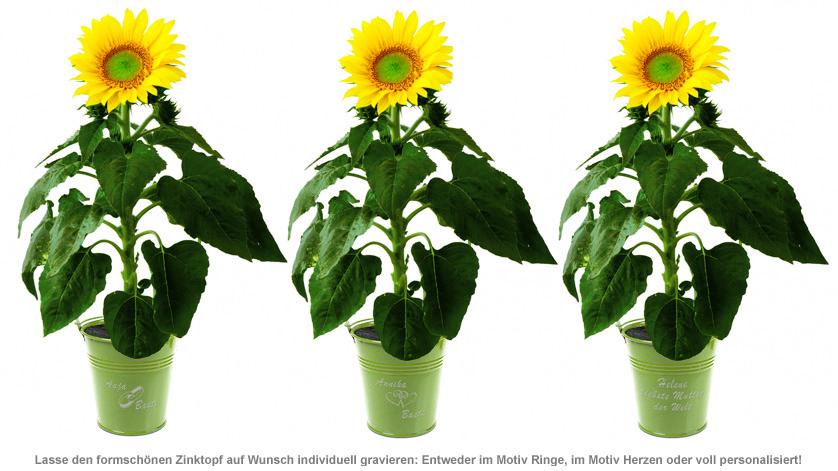 Sonnenblume im Zink-Topf - 2