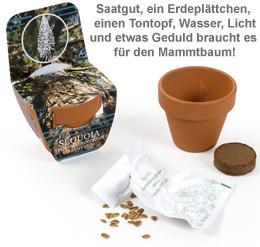 Mammutbaum im Mini-Tontopf - 2