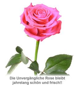Unvergängliche Rose Pink - 2