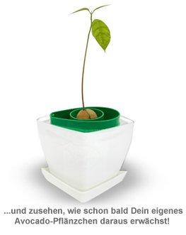 Pflanzset - Avocadokern einpflanzen - 3