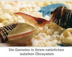 Autarkes Ökosystem mit Garnelen - 2