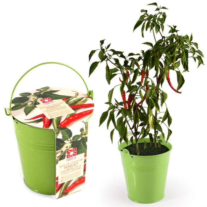 chillischoten im zink topf echte chili pflanze f r zu hause. Black Bedroom Furniture Sets. Home Design Ideas