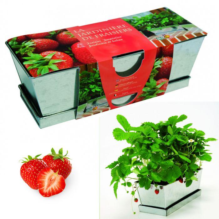 erdbeeren im zink blumenkasten erdbeeren daheim selber z chten. Black Bedroom Furniture Sets. Home Design Ideas