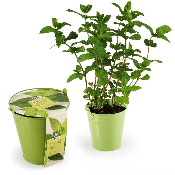 gr ne minze im zinktopf echte pflanze daheim selber s en. Black Bedroom Furniture Sets. Home Design Ideas