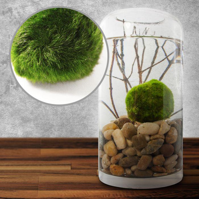 marimo mooskugel die kultpflanze aus asien. Black Bedroom Furniture Sets. Home Design Ideas
