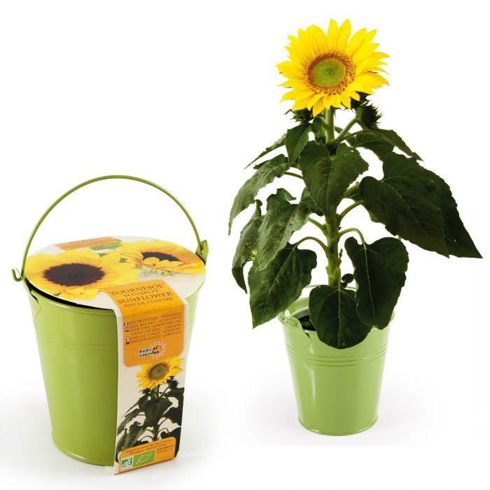 sonnenblume im zinktopf h252bsche pflanze in