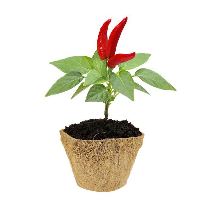 Habanero Chili Set - Selber pflanzen