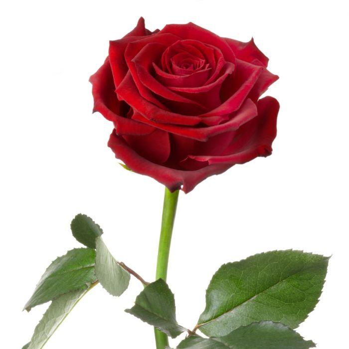 Unvergängliche Rose - Das besondere Geschenk