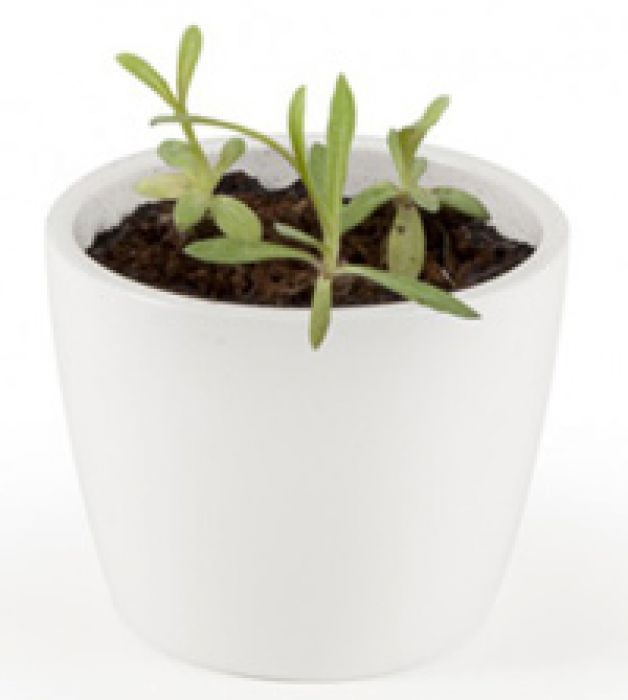 Edelweiss Im Mini Topf Das Kleine Edelpflanzchen Zum Selbersaen
