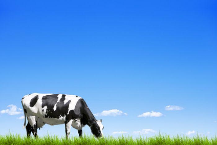 Vache de taille réelle - Décoration de jardin cool