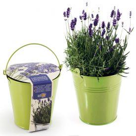 Lavendel im Zink-Topf
